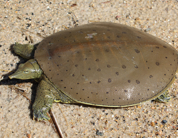 Eastern Spiny Soft Shell Turtles